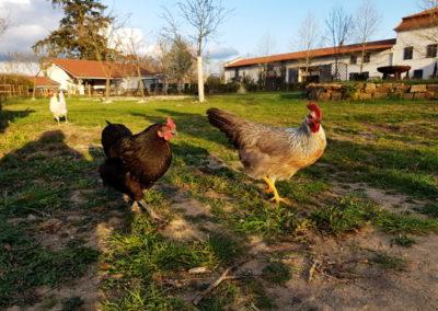 Château des Périchons les poules assurent le service des oeufs frais